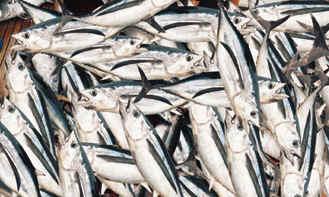albacore fish